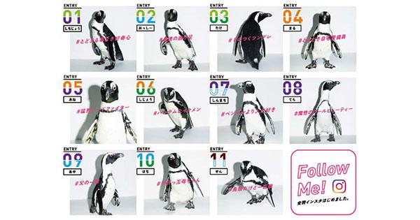 会いに行けるペンギンアイドル誕生 センターを決める「超選挙」実施