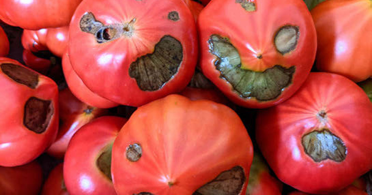 見た目は悪いがおいしいトマトを「闇落ちとまと」と命名し、大人気商品に