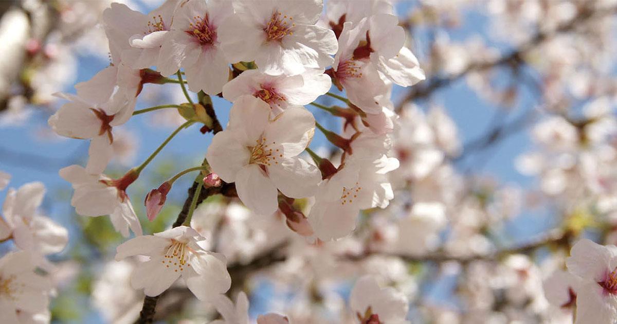「花見の経済効果」に見る 気象にまつわる日本の祭事ビジネスの効果
